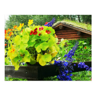 Nasturtium - summer blooms in Alaska Postcard