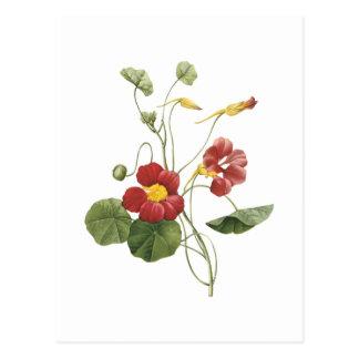 nasturtium(Tropaeolum majus) by Redouté Postcard