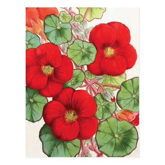 """Nasturtium"" Vintage Flower Illustration Postcard"