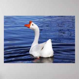 natación blanca del ganso en la foto del agua azul póster