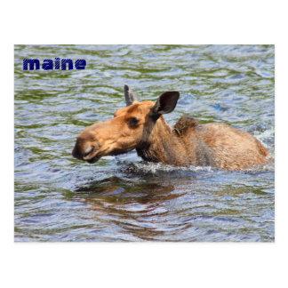 Natación de los alces de la vaca de Maine Tarjetas Postales