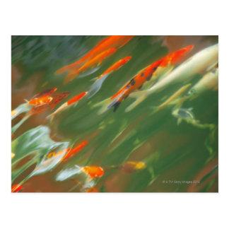 Natación de los pescados de la carpa de Koi en una Tarjeta Postal