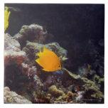 Natación del angelfish de Herald (heraldi de Centr Azulejo