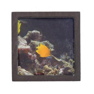 Natación del angelfish de Herald heraldi de Centr Caja De Recuerdo De Calidad