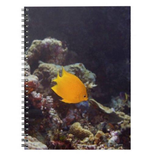 Natación del angelfish de Herald (heraldi de Centr Libreta