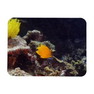 Natación del angelfish de Herald (heraldi de Centr Imanes