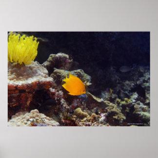 Natación del angelfish de Herald (heraldi de Centr Poster
