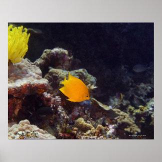 Natación del angelfish de Herald (heraldi de Centr Impresiones