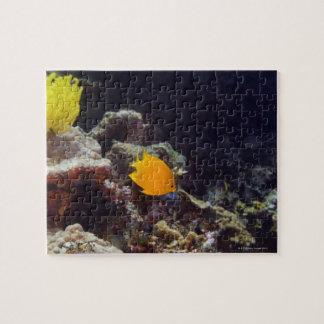 Natación del angelfish de Herald (heraldi de Centr Puzzle