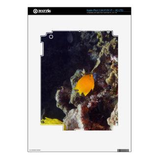 Natación del angelfish de Herald (heraldi de Centr Pegatina Skin Para iPad 3