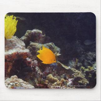 Natación del angelfish de Herald (heraldi de Centr Tapetes De Raton