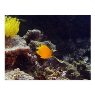 Natación del angelfish de Herald (heraldi de Centr Tarjetas Postales