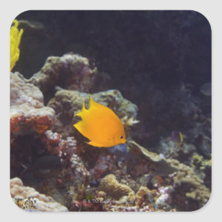 Natación del angelfish de Herald (heraldi de Pegatina Cuadradas Personalizada