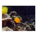 Natación del angelfish de Herald (heraldi de Tarjeta Postal