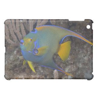 Natación del Angelfish de la reina (ciliaris de