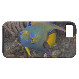 Natación del Angelfish de la reina (ciliaris de Ho iPhone 5 Cárcasas