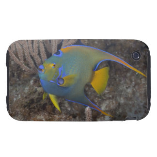 Natación del Angelfish de la reina (ciliaris de Ho Tough iPhone 3 Carcasas