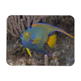 Natación del Angelfish de la reina (ciliaris de Ho Imán De Vinilo