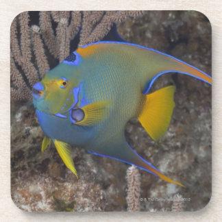 Natación del Angelfish de la reina (ciliaris de Ho Posavasos De Bebida