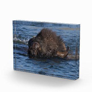 natación del bisonte