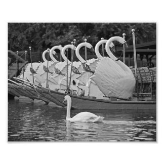 Natación del cisne con algunos amigos blancos y fotografía
