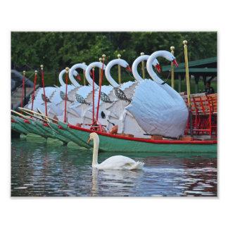 Natación del cisne con el público Gard de Boston Cojinete