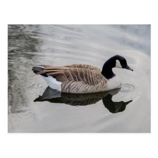 Natación del ganso de Canadá en postal viva del ag