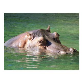 Natación del Hippopotamus en la superficie Tarjetas Postales