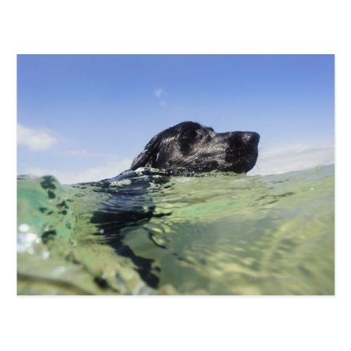 Natación del perro en agua postal