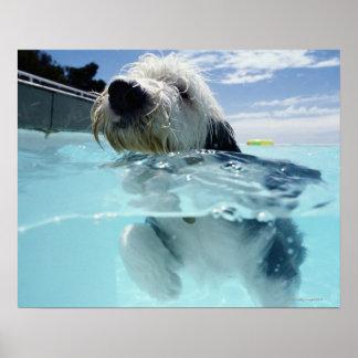 Natación del perro en una piscina posters
