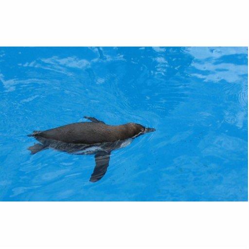Natación del pingüino en la piscina esculturas fotográficas