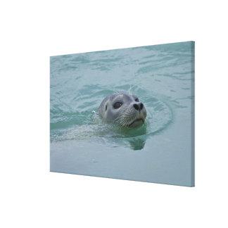 Natación del sello de puerto en el lago glacial Jo Lona Envuelta Para Galerias
