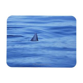 Natación del tiburón en agua del océano iman de vinilo