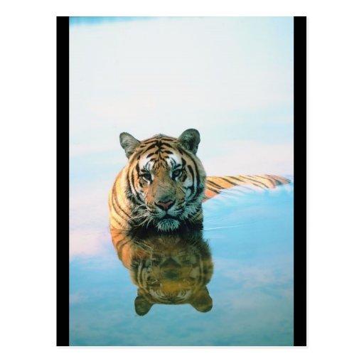 Natación del tigre postales