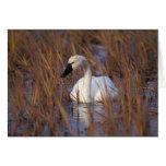 Natación en una charca, 1002 Coastal del cisne que Tarjeta De Felicitación