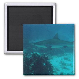 Natación gris del tiburón del filón imán cuadrado