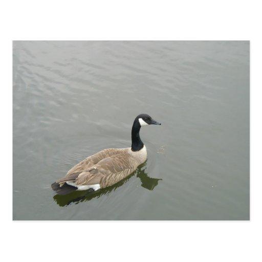Natación hermosa del pato en agua tarjeta postal