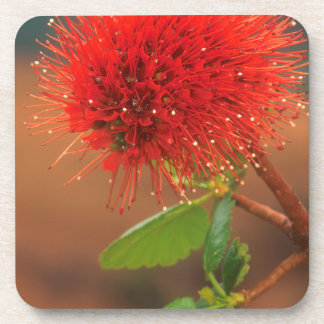 Natal Bottlebrush (Greyia Sutherlandii) Flower Beverage Coaster