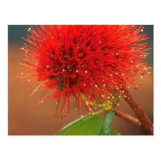 Natal Bottlebrush (Greyia Sutherlandii) Flower Postcard
