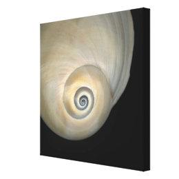 Naticid shell canvas print