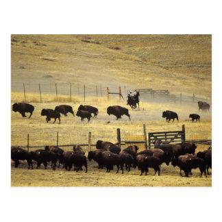 National Bison Range Roundup in Montana Postcard