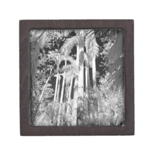 Native Royal Palms in Fakahatchee Strand, Gift Box