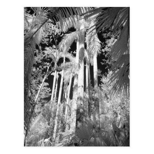 Native Royal Palms in Fakahatchee Strand, Postcard