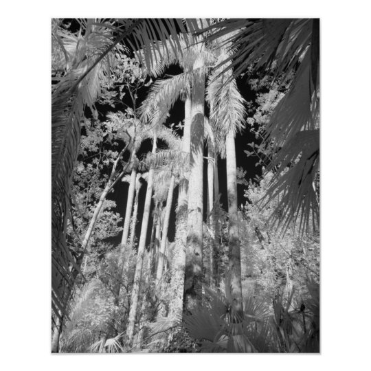 Native Royal Palms in Fakahatchee Strand, Poster