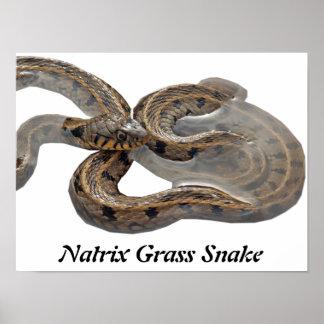 Natrix Grass Snake Posters