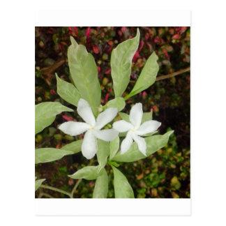 Natural White Beautiful Flower Postcard