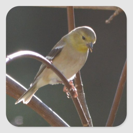 Naturaleza americana del Goldfinch del pájaro Calcomania Cuadradas