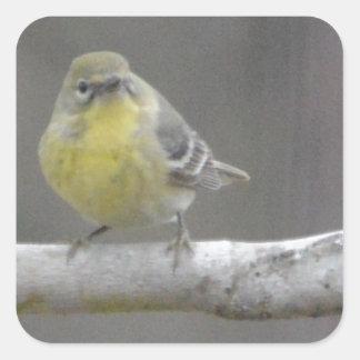 Naturaleza del pájaro de la curruca del pino pegatina cuadrada