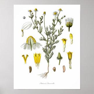 Nature,botanical print,flower art of Chamomile Poster