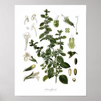 Nature,botanical print,flower art of Lemon Balm Poster